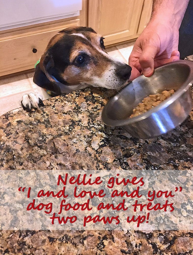 Nellie the beagle begging for food out of her bowl.