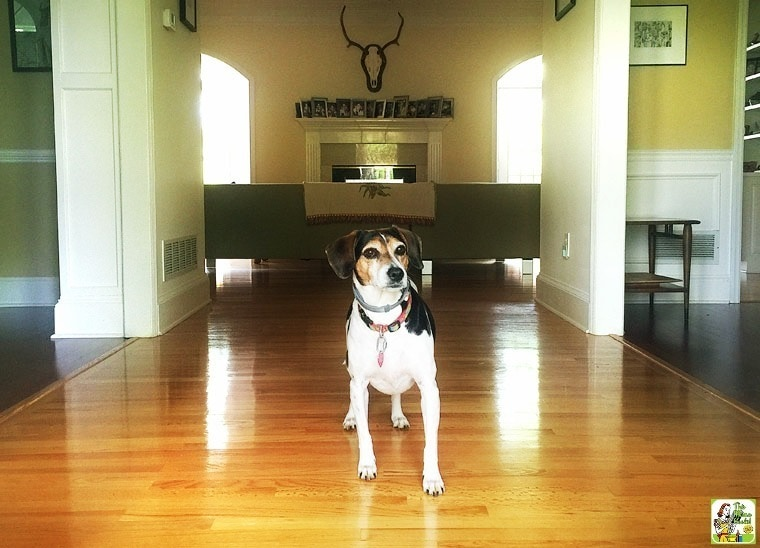 My dog Nellie shows off the beautiful hardwood floors after I did some spring cleaning with Bona® hardwood floor cleaner products!