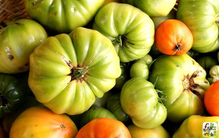 A bunch of green tomatoes to make green tomato ketchup.